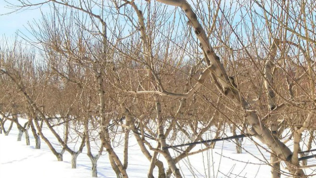 Winter cold affects trees and shrubs_32007