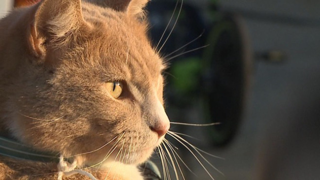 Cat hit by arrow in Campbell recovering_37199