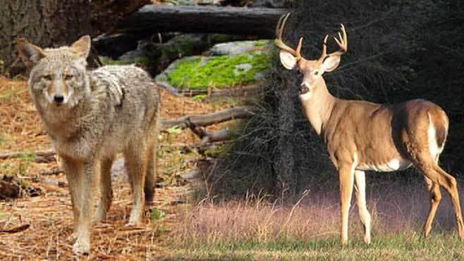 Coyote, deer sightings on the rise in Salem, Ohio_42723