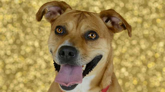 Chelsea is a medium, adult Corgi_Pitt Bull Terrier mix._57973
