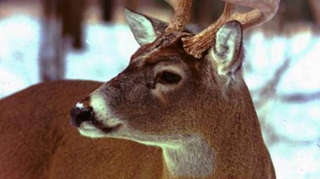 Wildlife experts warn of extra deer on roadways_60424