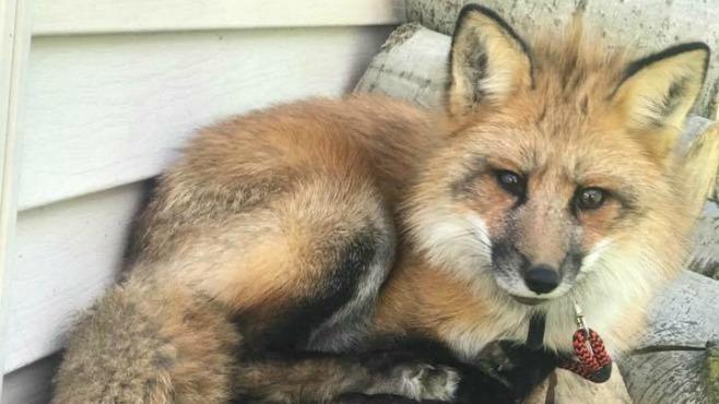 Warren stolen fox_127370