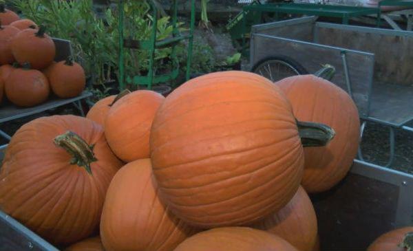 pumpkins_139185