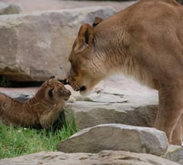 Keystone Safari Baby Lion