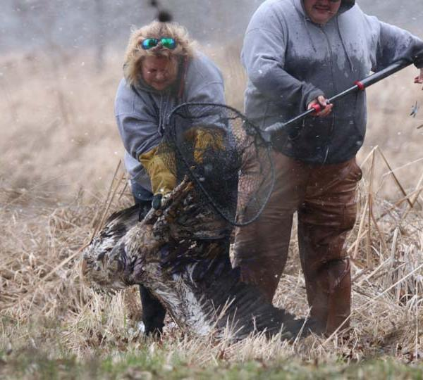 Bald Eagle Rescued at Mosquito Lake 3