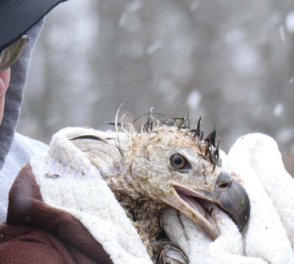 Bald Eagle Rescued at Mosquito Lake 8