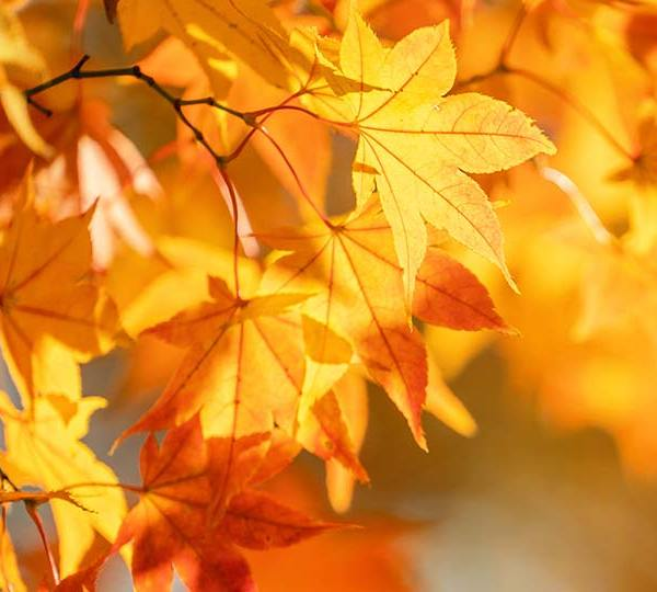 Colorful fall leaves on trees during autumn.